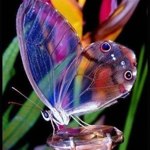 1424642095beautiful-transparent-wing-butterfly-resizecrop-