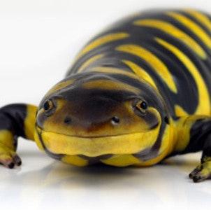 1448041242tiger-salamander