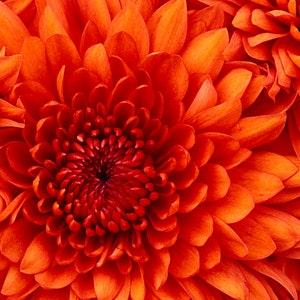 1527621205chrysanthemum