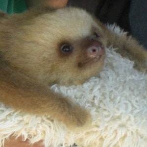 1539374314baby_sloth__rescued_from_captivity_and_to_be_returned_to_the_wild