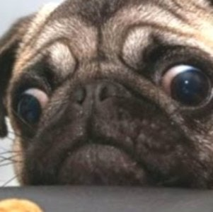 1540238489pug_with_cookie