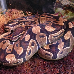 1535655936female_ball_python_(python_regius)