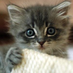 1535729460cute_grey_kitten
